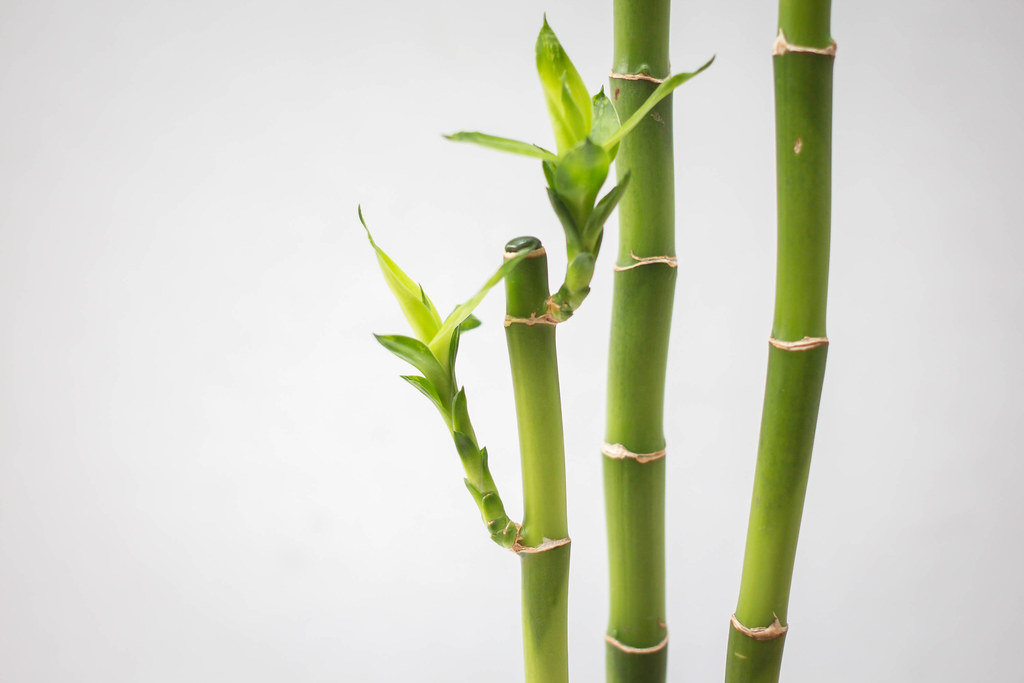 Lucky Bamboo - Indoor Plants for Low Light