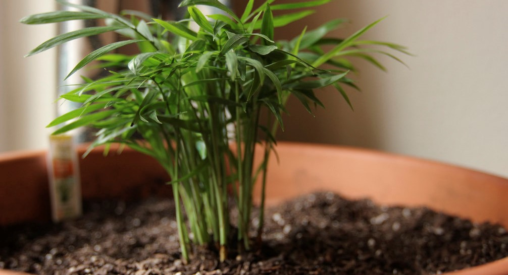 Bamboo Palm - Indoor Plants
