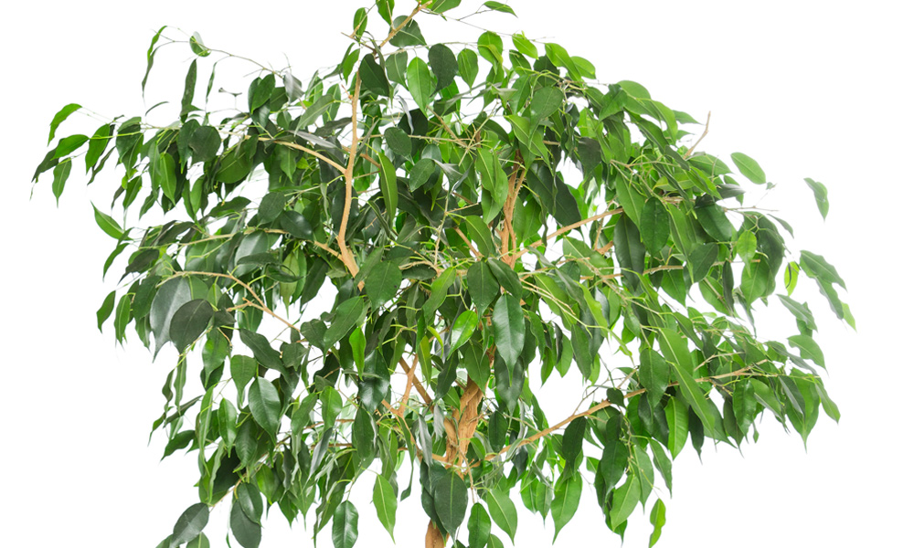 Weeping Fig - Indoor Plants for Low Light
