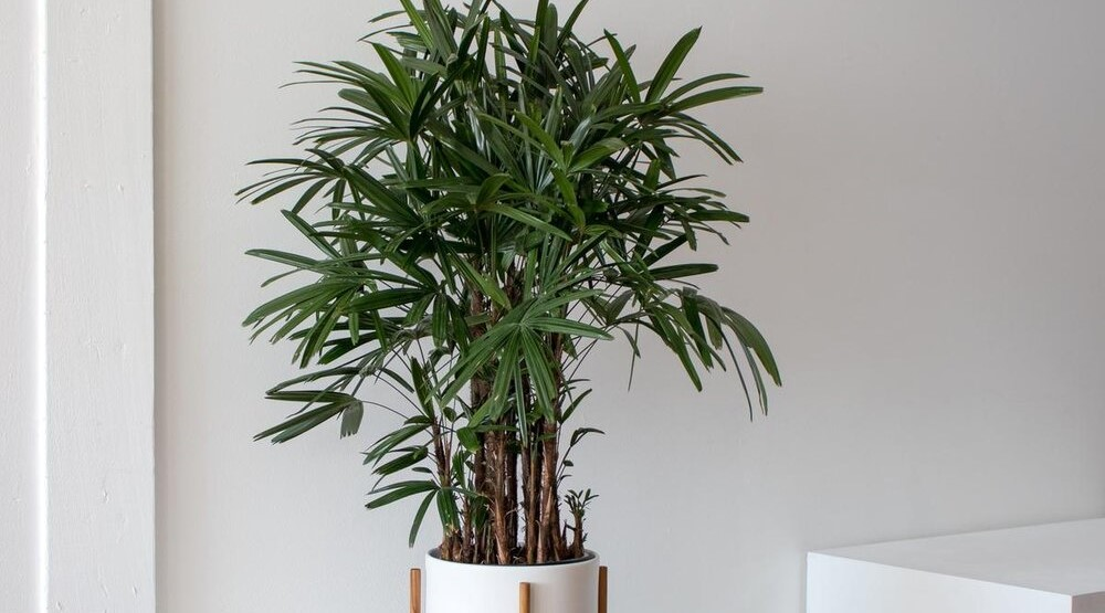 Lady Palm - Indoor Plant