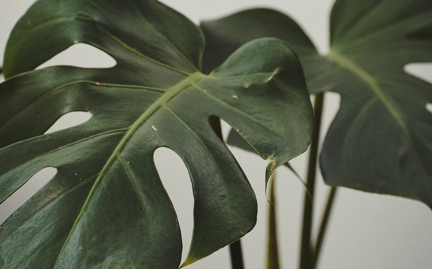 Delicious Monster - Indoor Plants for Low Light